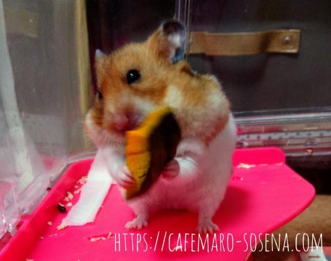 カボチャを食べるハムスター